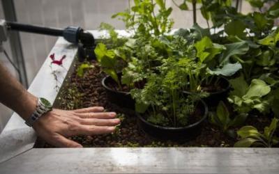 """Ecco la fattoria-container: con l'acquaponica l'allevamento di pesci """"fertilizza"""" le verdure"""
