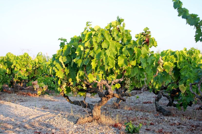 La vite di Pantelleria patrimonio dell'Unesco