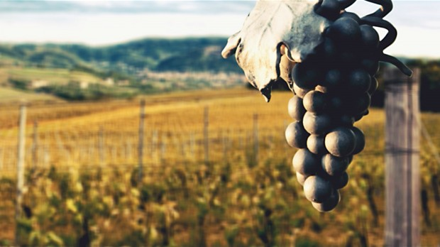 """Vino: addio lieviti globalizzati, ecco la fermentazione """"su misura"""""""