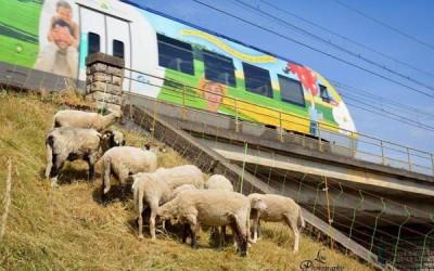 """Liberare dall'erba i binari dell'alta velocità? In Francia si """"assumono"""" le pecore"""