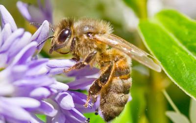 Studio Conapi: il miele ripara il DNA